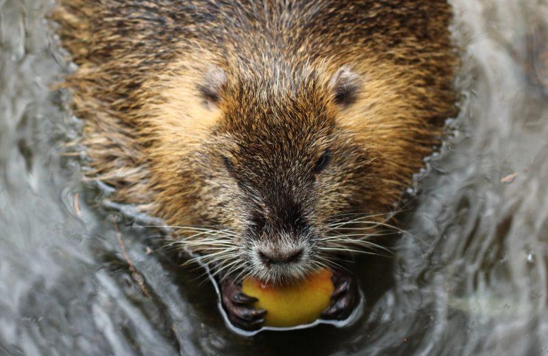 Los castores regresan después de 400 años a Nottinghamshire