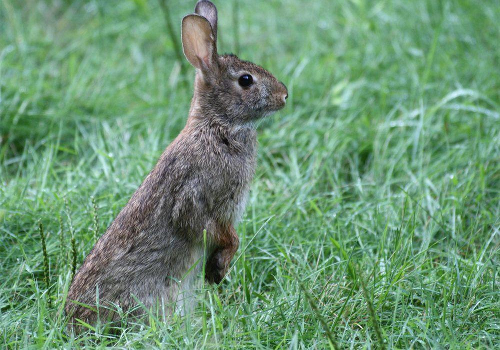 Conejo de cola blanca