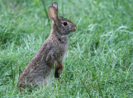 ¿Por qué no se domesticaron los conejos en las Américas?