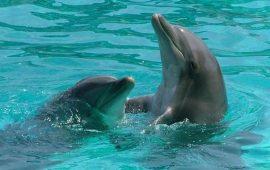 Los delfines adaptaron su esperma para reproducirse en el medio acuático