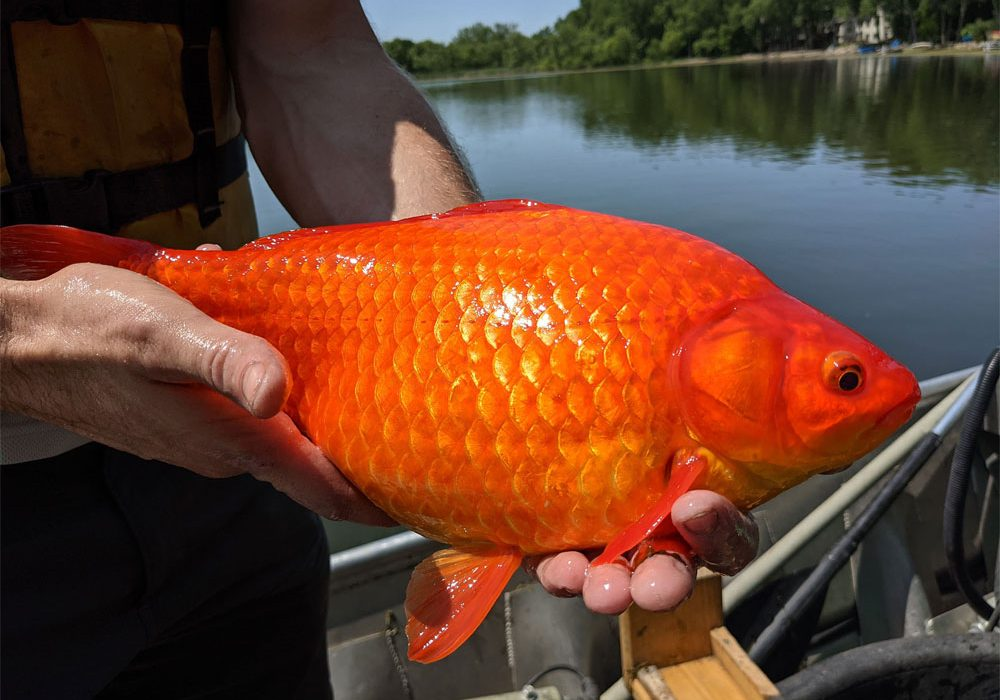 Por favor no abandonen peces en ríos, lagos y estanques