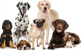 Comportamiento hiperactivo, impulsivo y falta de atención (TDAH) en perros