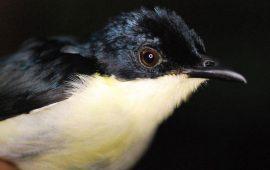 Nueva especie de ave en los bosques nubosos de Papúa