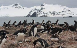 Los pinguinos árticos ya disponen de la dieta «microplásticos»