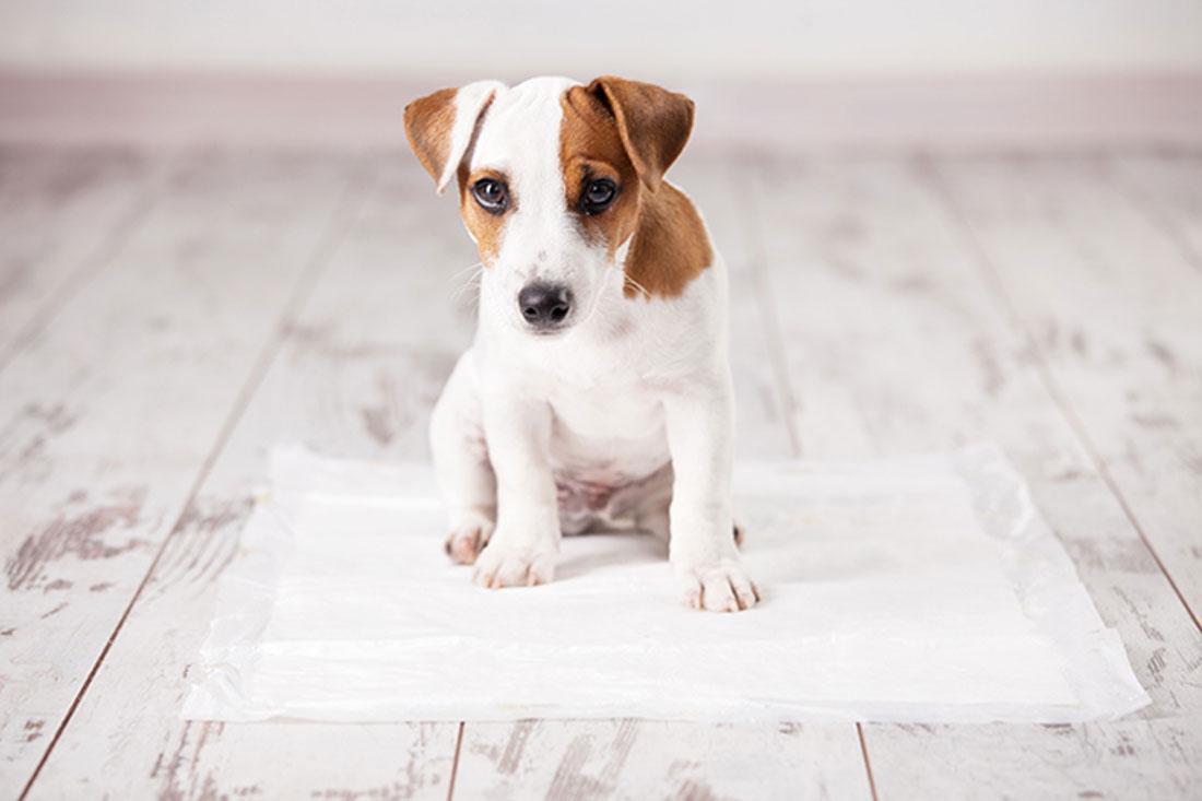 enseñar a un perro a hacer sus necesidades en un solo lugar