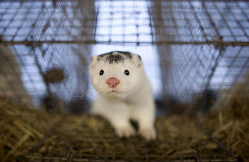 Detectado un nuevo brote en una granja de visones de Oza-Cesuras que alberga a casi 10.000 animales
