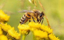 Las especies de abejas con cerebros más grandes aprenden mejor
