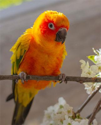 Cotorrita solar - Alimentación en las aves