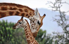 Las jirafas son una especie de gran complejidad social