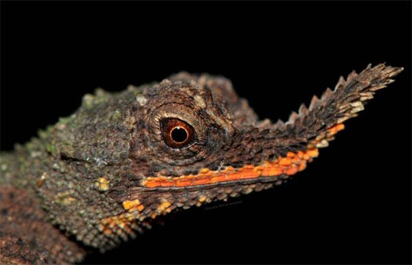 Lagartos cornudos de nariz rugosa - Ceratophora aspera