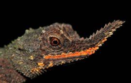 Salvar al lagarto de nariz rugosa de Sri Lanka mediante su ADN