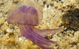 Medusas, ¿por qué son cada vez más frecuentes?