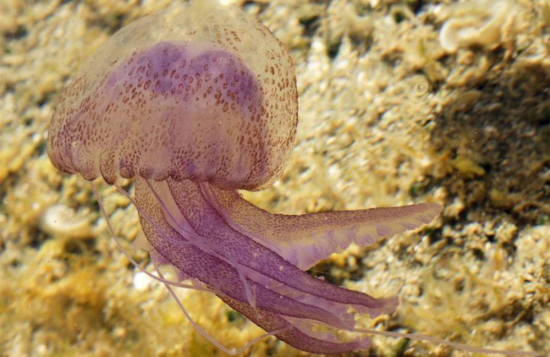 Pelagia noctiluca - Medusa