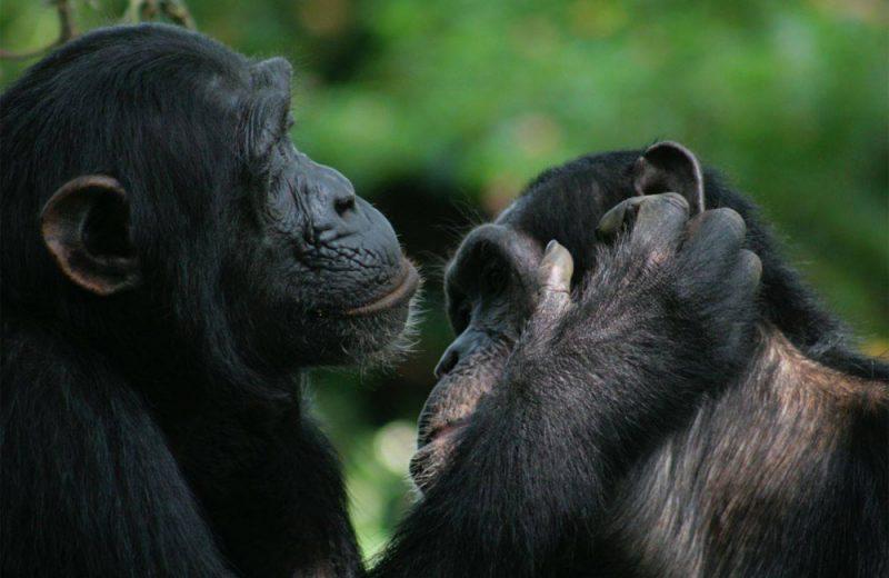 Grandes simios