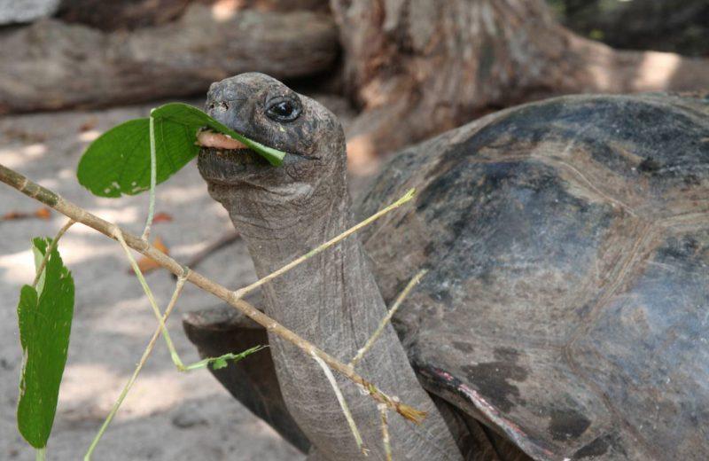 La tortuga gigante de Aldabra caza y come aves
