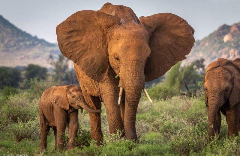 La caza furtiva efectos a largo plazo: los elefantes sin madre sobreviven menos
