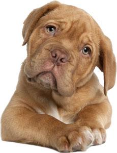 Bullmastiff cachorro