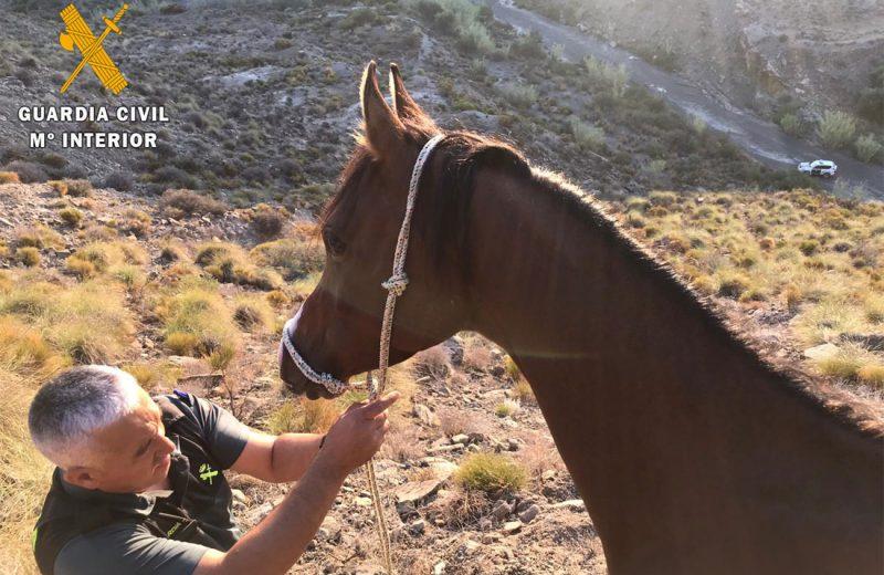 La Guardia Civil de Almería localiza y rescata a un caballo de raza árabe atrapado en una zona montañosa en Huércal Overa