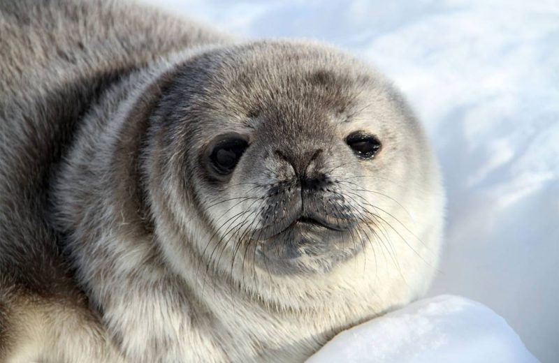 La crisis climática no afectará por igual a todas las focas antárticas