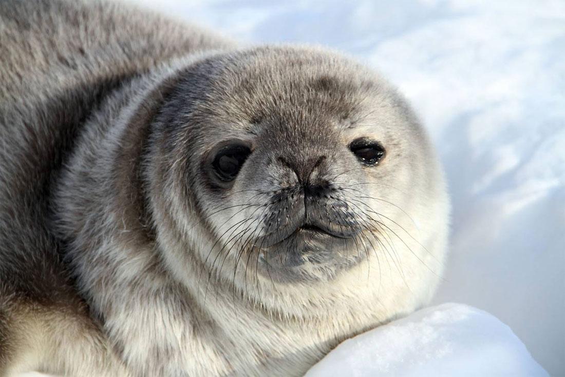 Foca antárticas