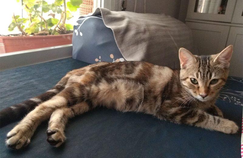 Khalessi atigrado en los gatos domésticos