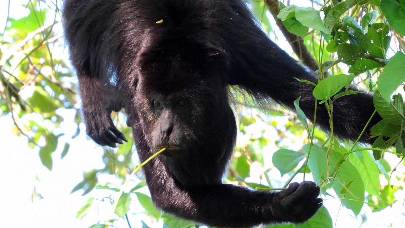 Macho adulto de mono aullador negro.