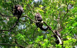 Los monos aulladores utilizan mapas mentales como los humanos para moverse