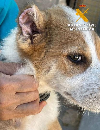 Cachorro con las orejas cortadas