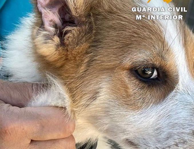 Cachorro con orejas cortadas