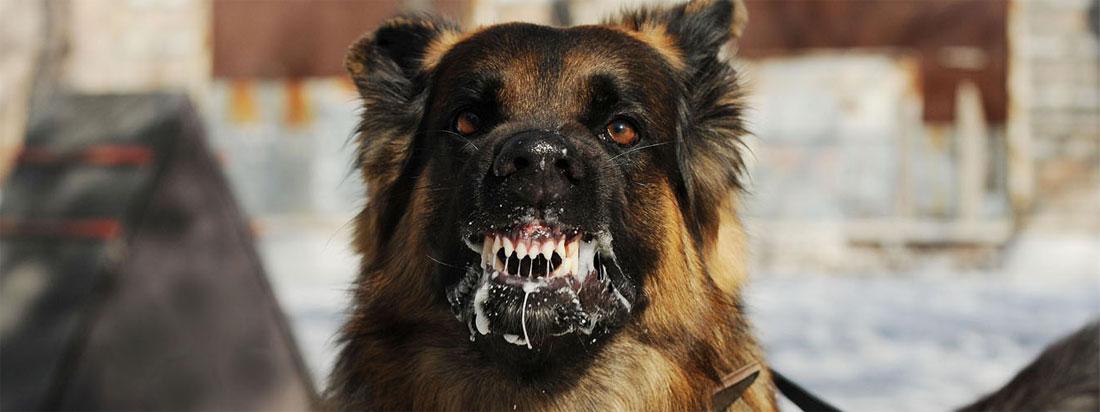 Perro rabia