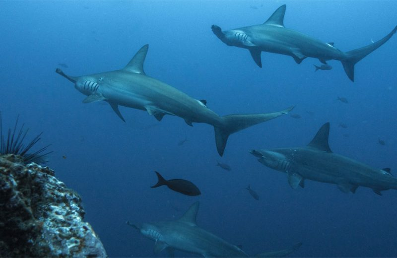 Tiburones martillo