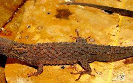 Describen un nuevo género y especie de lagarto en la Amazonia venezolana