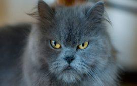 ¿Son los gatos gruñones realmente tan gruñones?