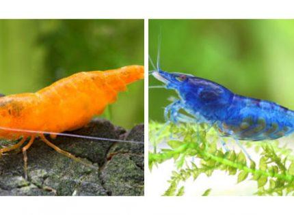 Gambas de agua dulce, una nota de color preciosa para acuarios