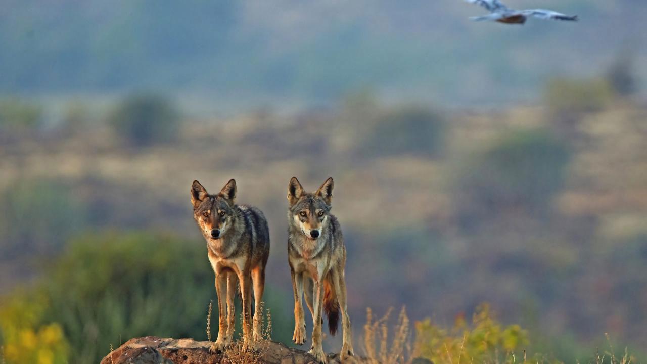 Lobos Indios