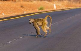 El estudio de los efectos negativos de las carreteras en animales es aún insuficiente