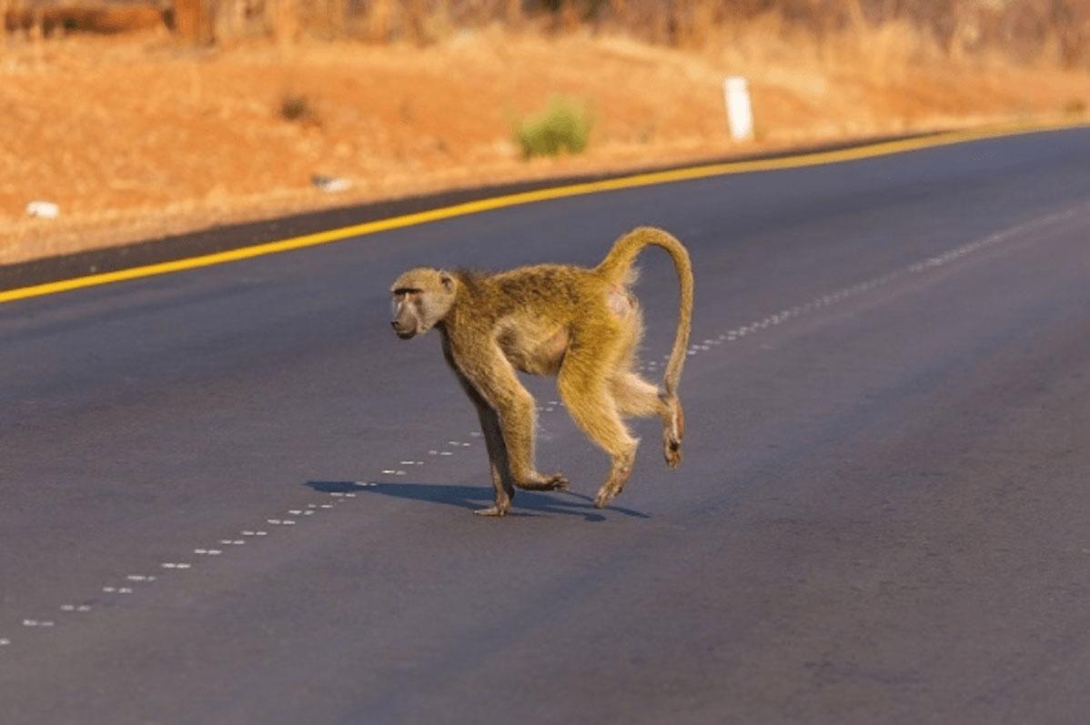 Primate cruzando carreteras
