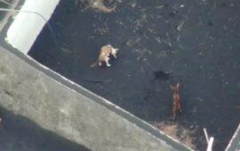 Aerocamaras prepara un rescate de perros pionero en España, en la isla de la Palma