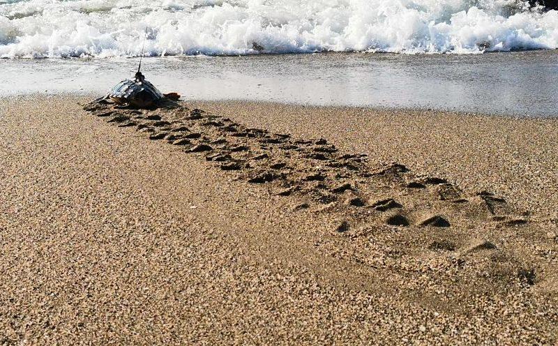 Liberadas diez crías de tortuga boba marcadas para su seguimiento en Cataluña y Andalucía